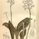 Image of Sirindhornia