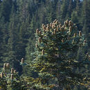 Image of noble fir