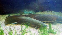 Image of Queensland lungfish