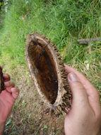 Image of <i>Zeyheria tuberculosa</i> (Vell.) Bur. ex Verlot