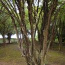 Image of <i>Plinia cauliflora</i> (DC.) Kausel