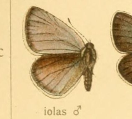 Image of <i>Iolana iolas</i> (Ochsenheimer 1816)