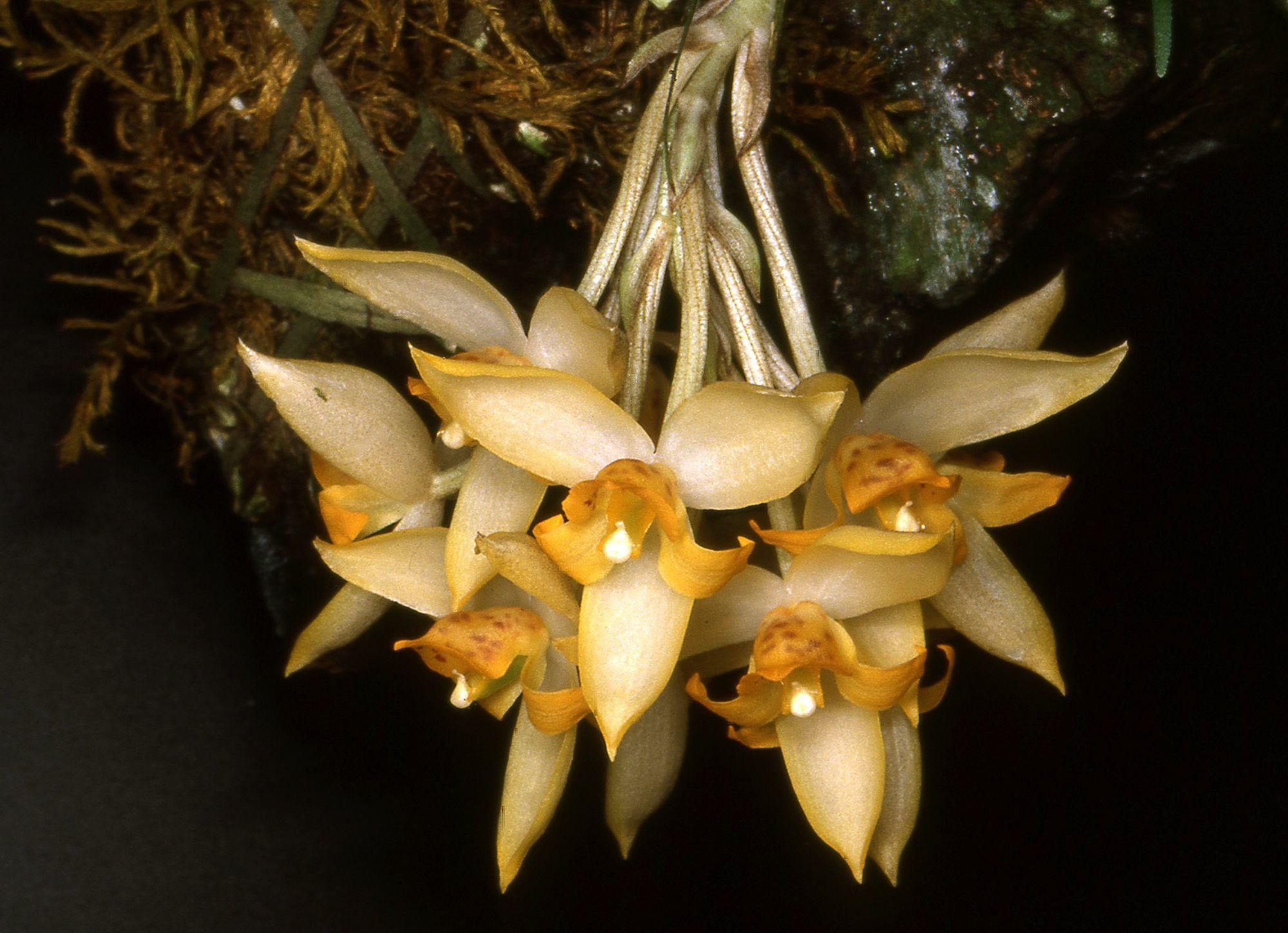 Image of Sievekingia