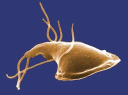 Image of Giardia