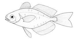Image of Bluefin Driftfish