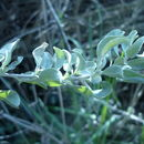 Image of saltbush