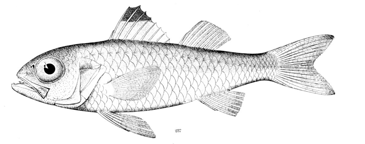 Image of Blackmouth Bass
