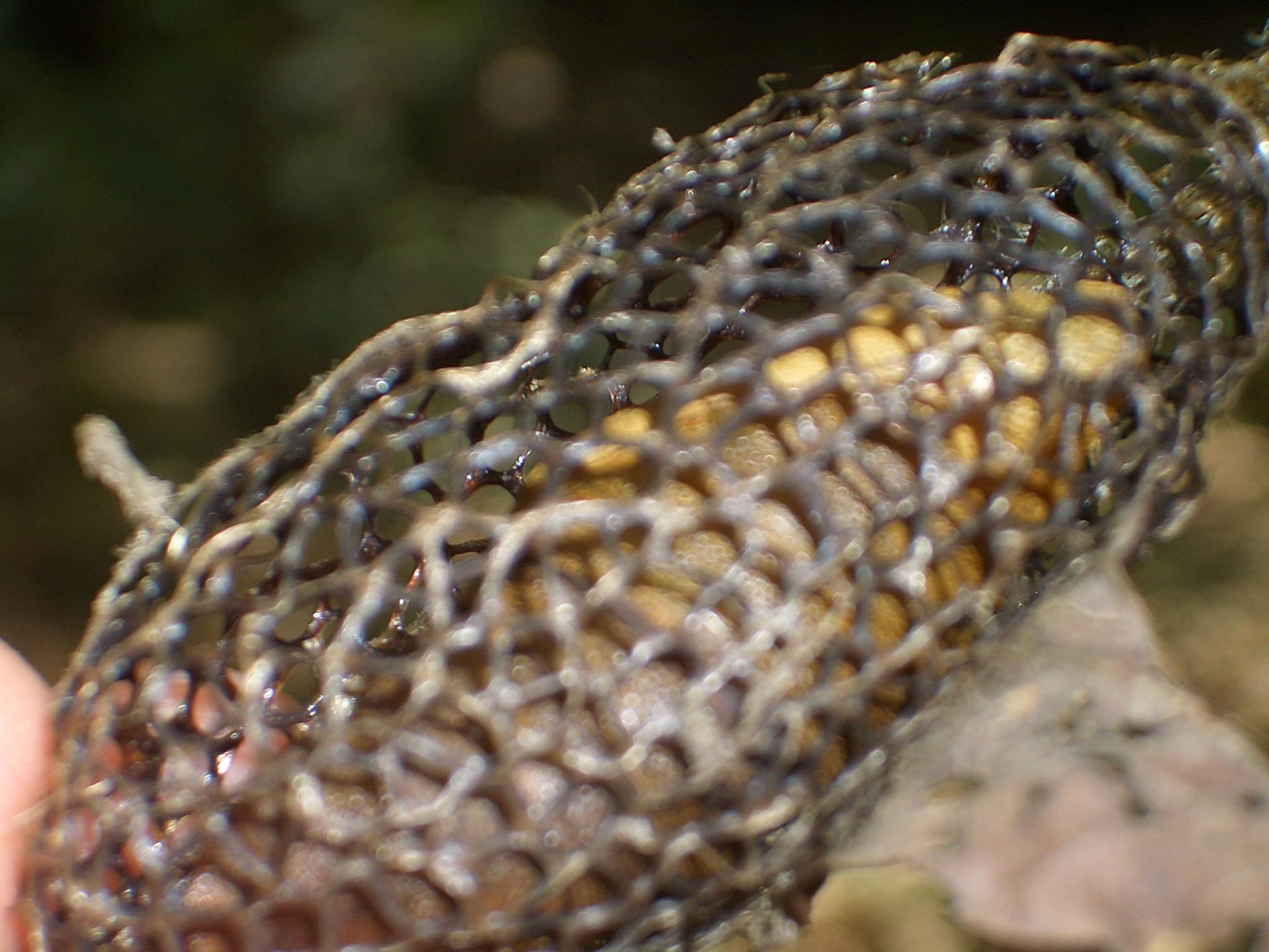 Image of Spongeflies