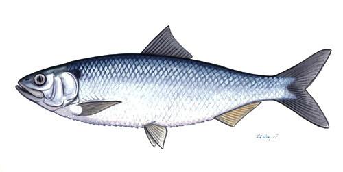 Image of Black Sea shad