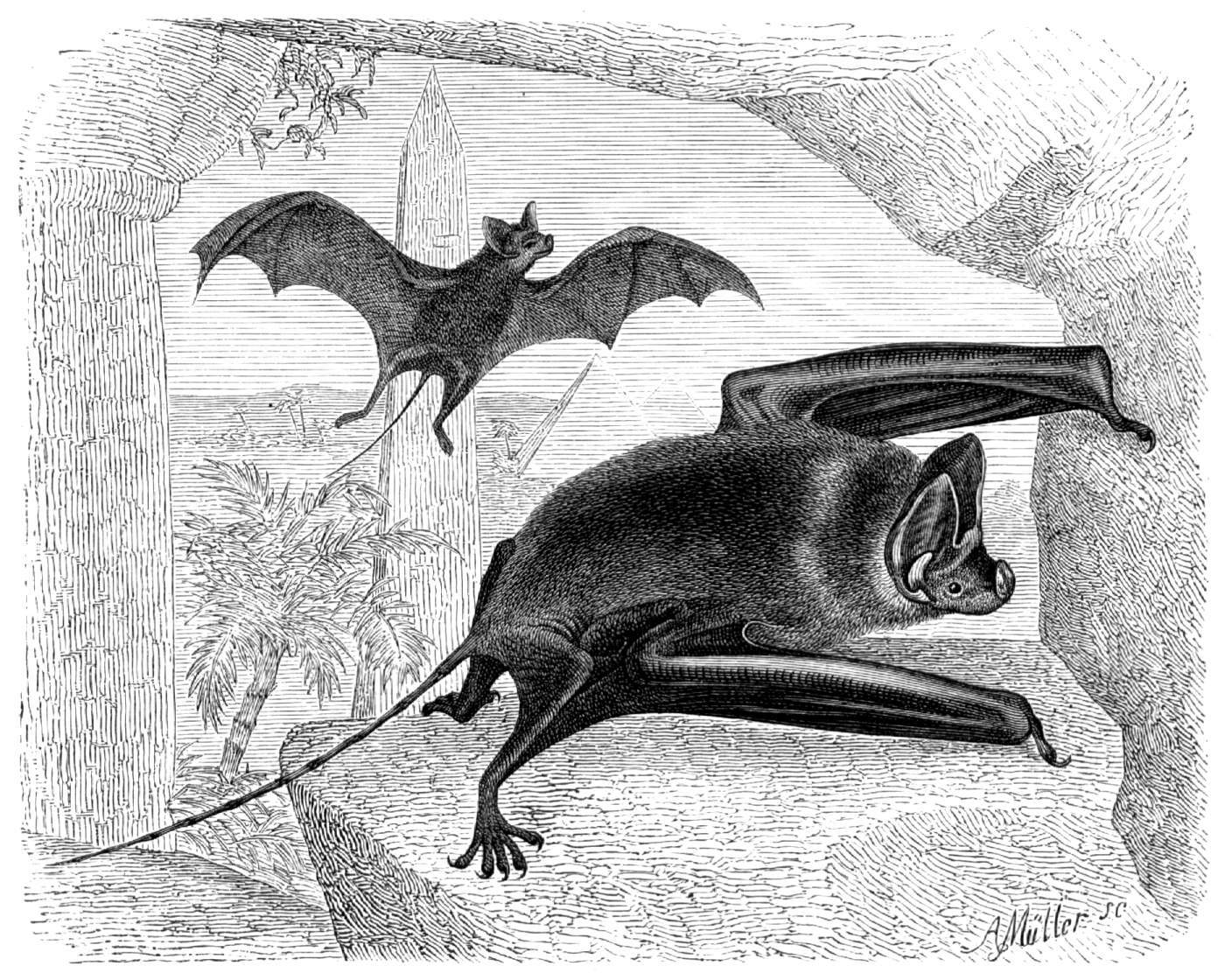 Image of Greater Mouse-tailed Bat