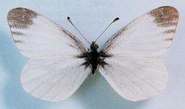 Image of Real's Wood White