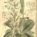 Image of Gavilea