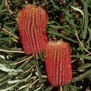 Image of Brown's banksia