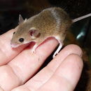 Image of Matthey's Mouse