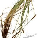 صورة <i>Carex cusickii</i> Mack.