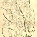 Image of Holcoglossum
