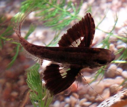 Image of Freshwater Butterfly fish