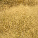 Image of Hairy Panic Grass