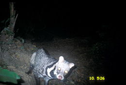 Image of large Indian civet