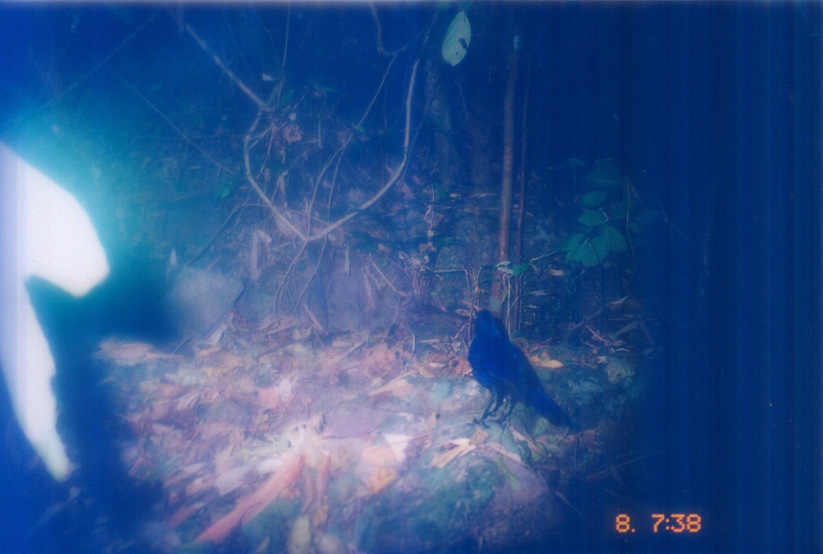 Image of Blue Whistling-Thrush