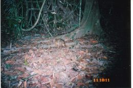 Image of Mouse Deer