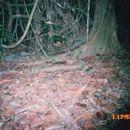 Image of Indochinese Ground squirrel
