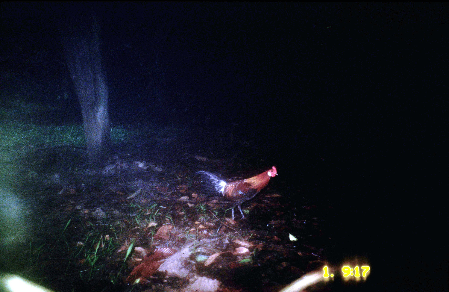 Image of Gamecock