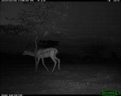 Image of Grant's Gazelle