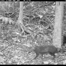 Image of Black Agouti
