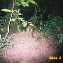 Image of Clouded Leopard