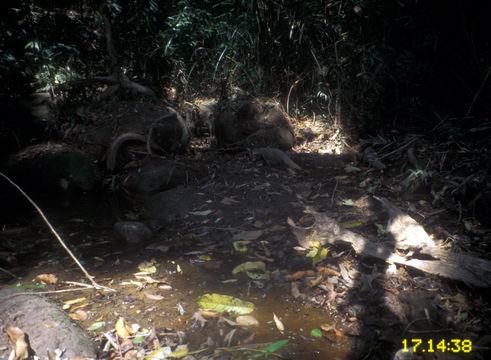 Image of Crab-Eating Mongoose