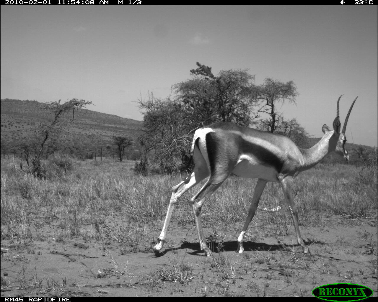Image of Grant's Gazelle