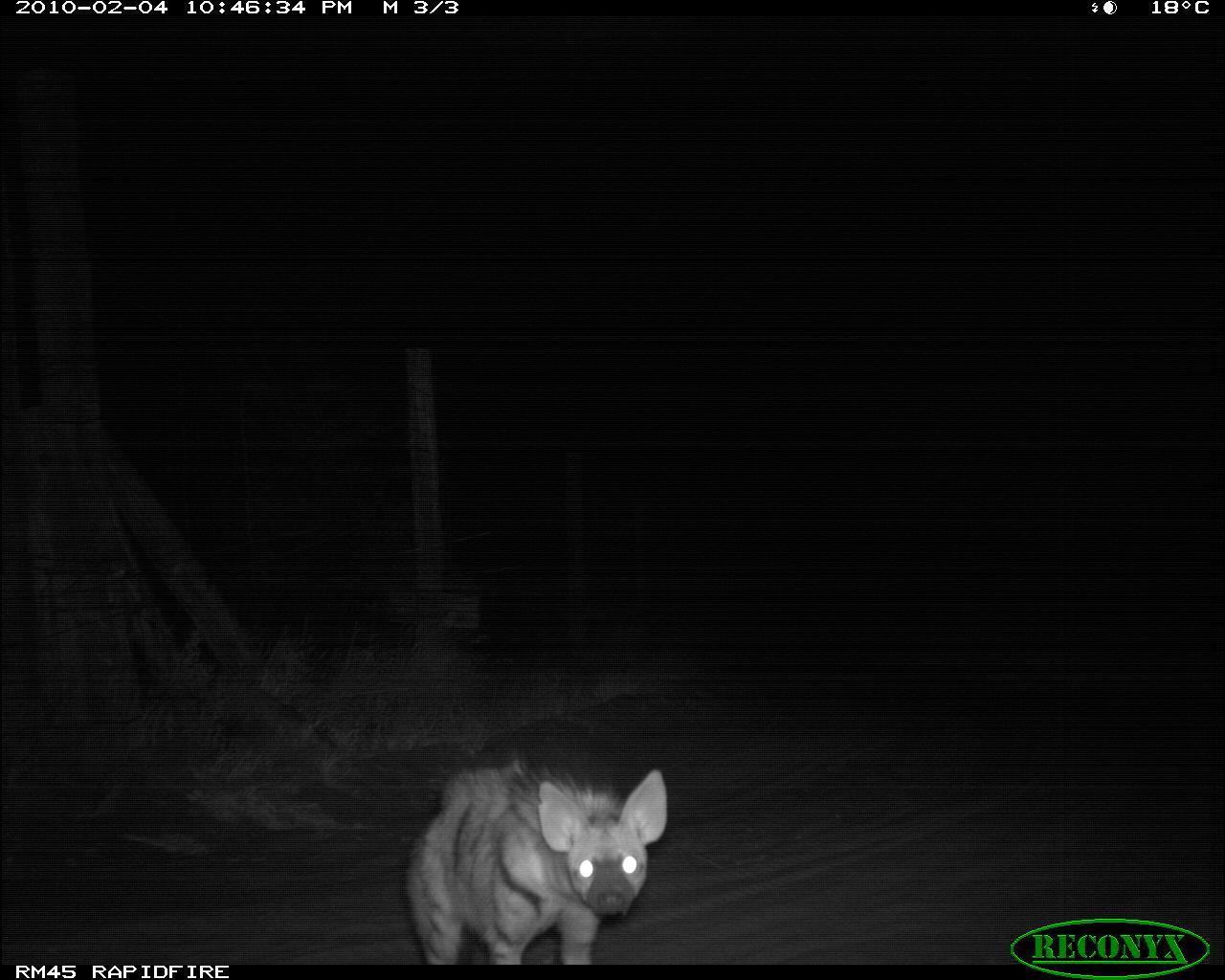 Image of Aardwolf