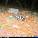 Image of Allegheny Spotted Skunk