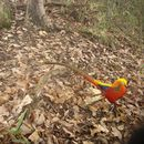 Image of Golden Pheasant