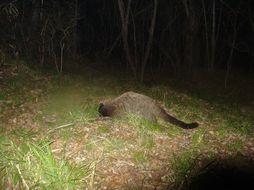 Image of Masked Palm Civet