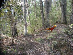 Image of Golden Pheasant