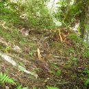 Image of Plain-backed Thrush