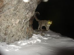 Image of Snow Leopard