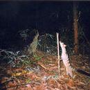 Image of Banded Palm Civet