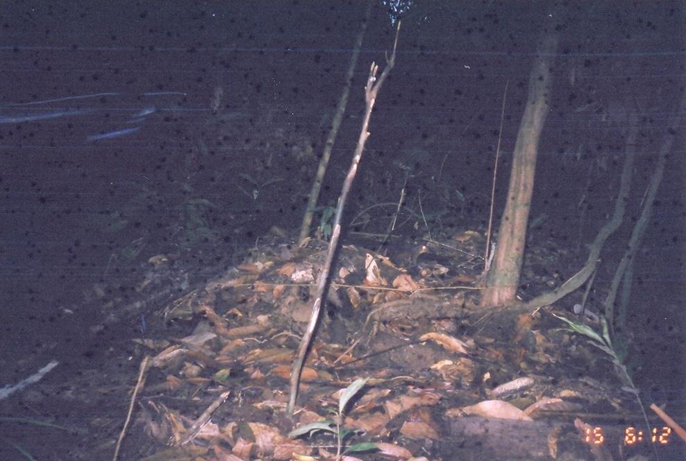 Image of Tree Shrew Sp.