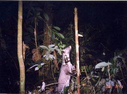 Image of Oriental Civet