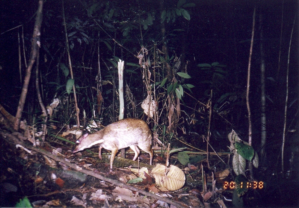 Image of Lesser Mouse-deer