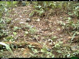 Image of Yellow-foot Tortoise