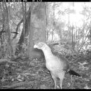 Image of Nocturnal Currasow