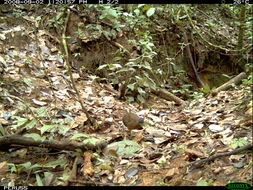 Image of Variegated Tinamou