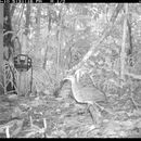 Image of White-throated Tinamou