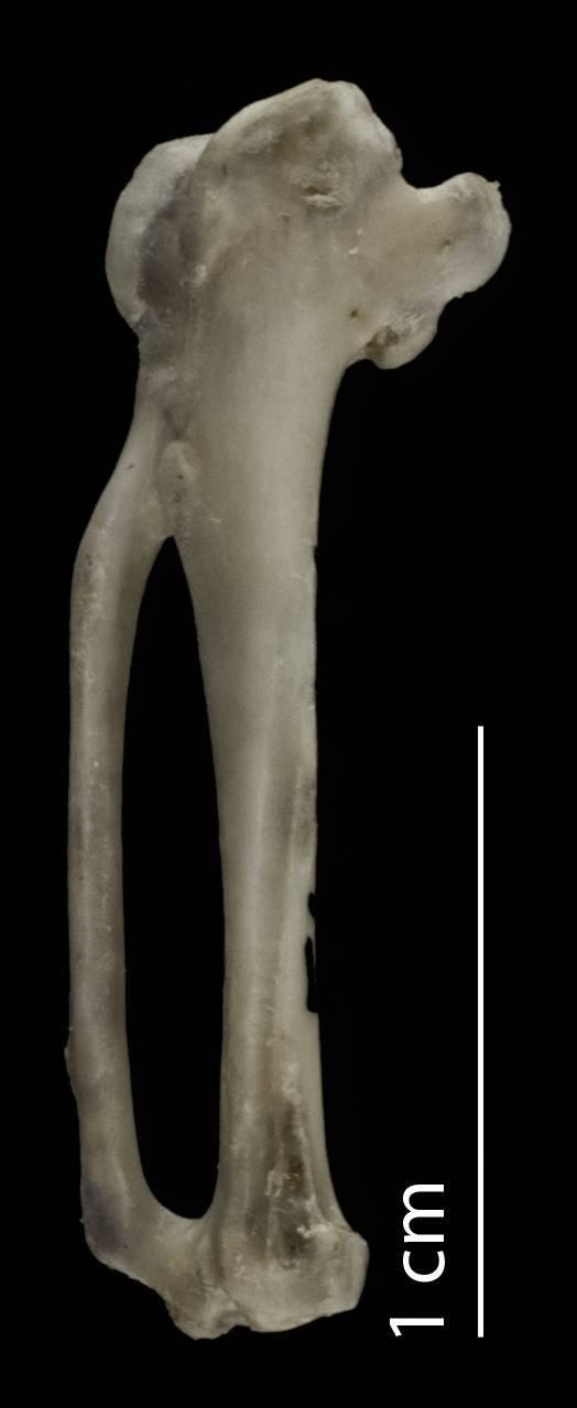 Image of <i>Aegotheles crinifrons</i> (Bonaparte 1850)