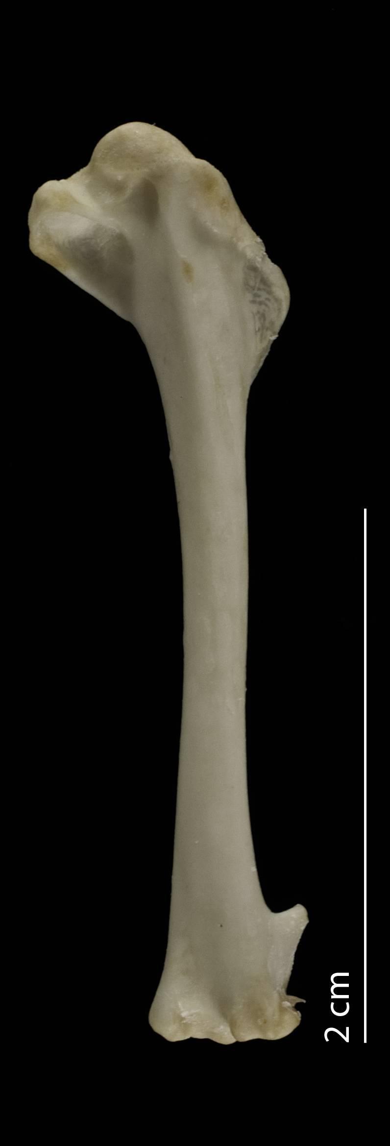 Image of <i>Glareola nuchalis liberiae</i> Schlegel 1881