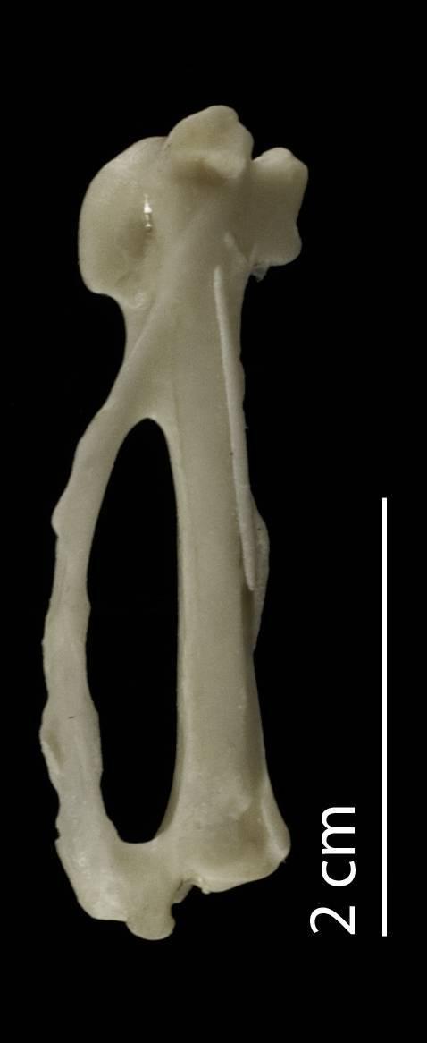 Image of <i>Phoeniculus <i>purpureus</i></i> purpureus (Miller & JF 1784)